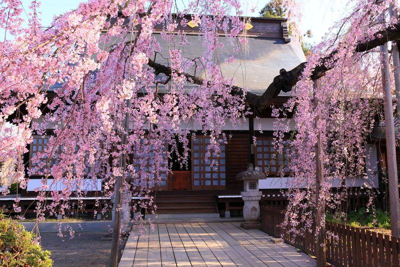 春の雨はサクラ色?山梨「慈雲寺」の境内に降り注ぐしだれ桜