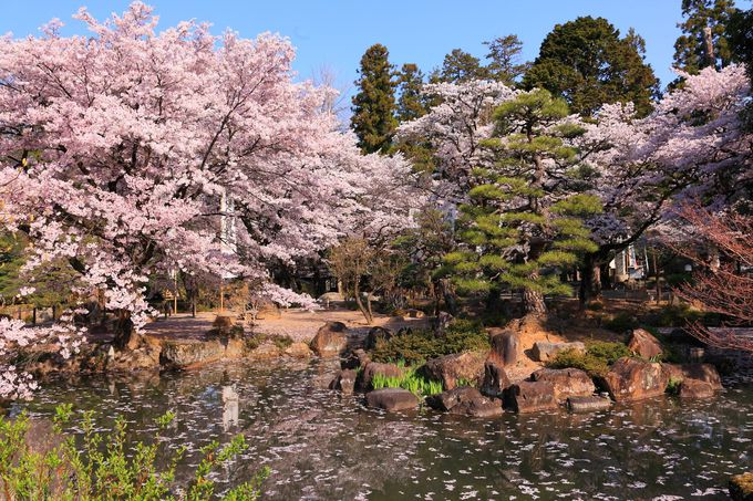 四脚門から先は桜色に染まった春爛漫の境内!