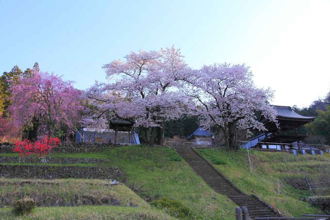 春の「永昌院」の見所は参道階段を上る手前から!