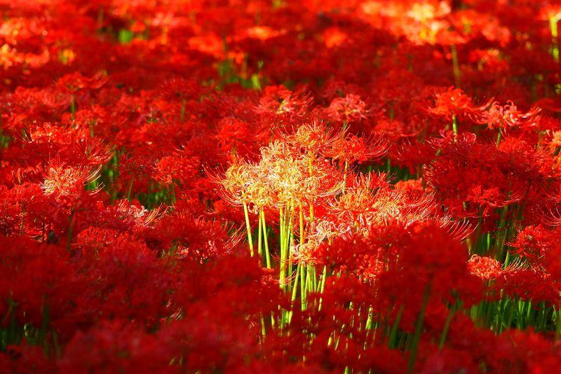 紅の絨毯を幻想的に!埼玉「巾着田」曼珠沙華撮影ポイント4選
