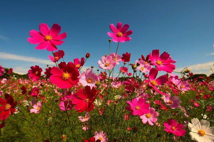 ほぼ同時期に咲くコスモス畑も見逃すな!
