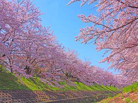 春の絶景を見に行こう!桜の本数が奈良市内最多の「佐保川」