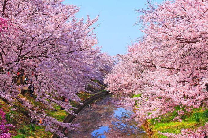 まるでピンク色のトンネルのような絶景!春の「佐保川」