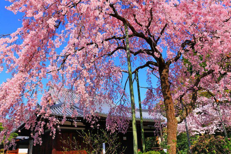 春の花園とはまさにこのこと!桜が美しすぎる京都「法金剛院」