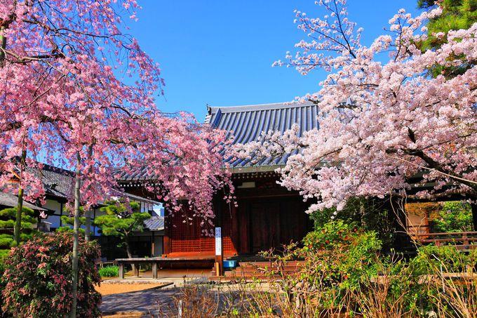 礼堂の前で咲き乱れる桜たち!