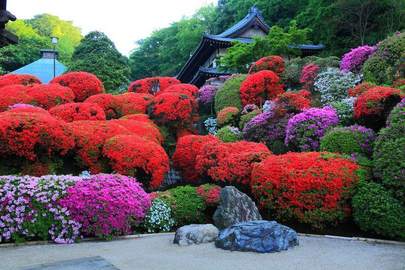川崎市宮前区「等覚院」の境内でツツジの花に埋もれてみよう!