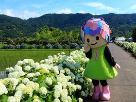 水田を取り囲む紫陽花は癒やし効果!開成町「あじさいの里」