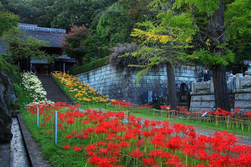 新横浜駅からすぐの新羽「西方寺」は曼殊沙華の隠れた名所!