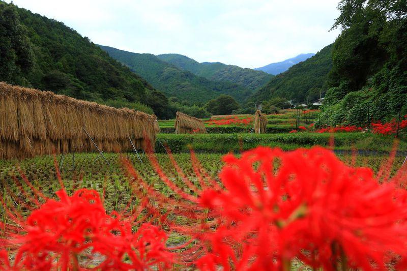 真っ赤に染まった里山風景は必訪...