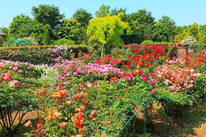 「花菜ガーデン」の多くを占める「薔薇の轍」