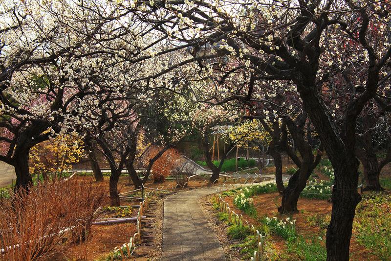 住宅街にある穴場で梅の花を観賞しよう!横浜「馬場花木園」