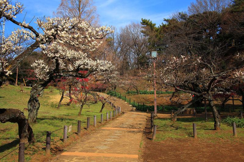 上から見る満開の梅林は圧巻!記念館もある横浜「大倉山公園」