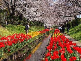 水路沿いは桜とチューリップの大行進!横浜「江川せせらぎ緑道」