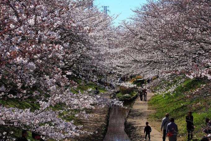 緑道西端は桜の独断場!