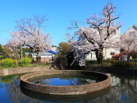 水路と満開の桜のコラボは見どころ満載!川崎「二ヶ領用水」