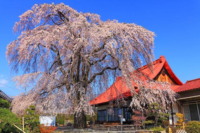 参道入口はわかりにくいがシダレ桜は圧巻!「西念寺」