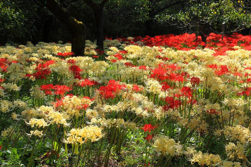 紅白の曼珠沙華は一見の価値あり!東京「郷土の森博物館」