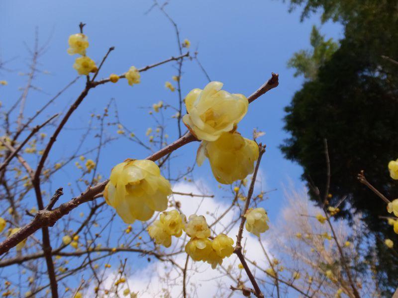 山に広がる黄色い花と甘い香り!神奈川「松田町寄ロウバイ園」