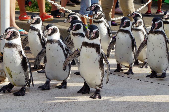 よちよち歩きがキュート!ペンギンのお散歩タイム