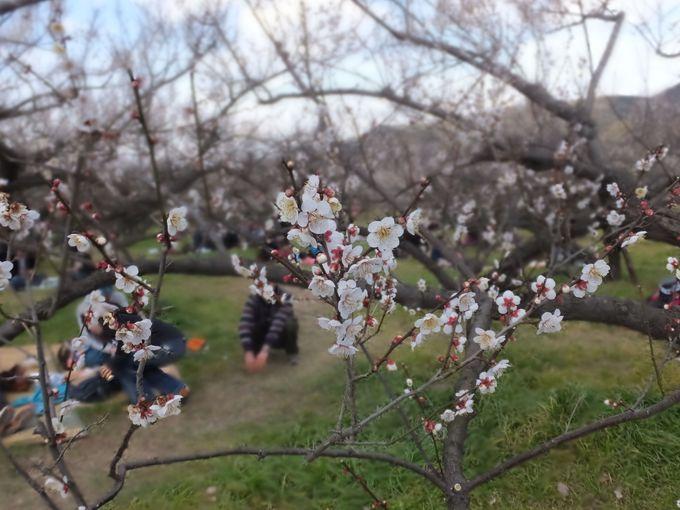 梅の花の下でピクニックはいかが