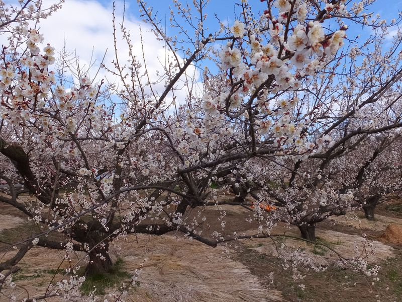 3万5千本の可憐な白梅が咲く曽我梅林をそぞろ歩く!小田原梅まつり