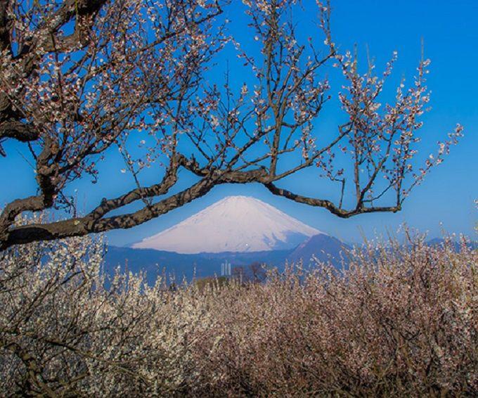 3万5千本の白梅が咲く梅の里