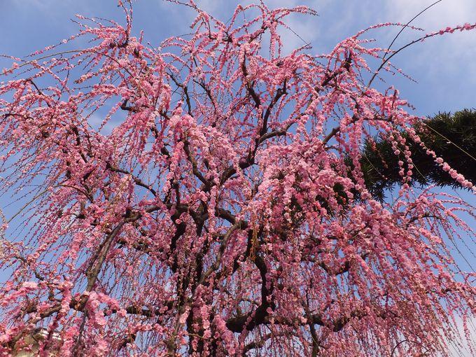 紅梅白梅、枝垂れ梅も美しい!