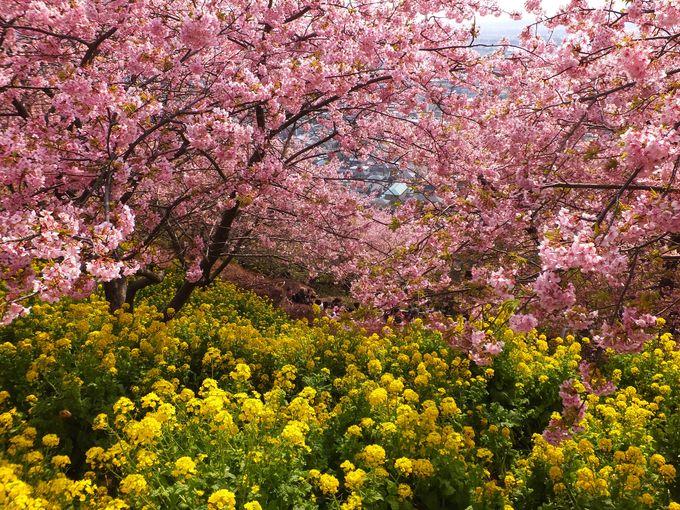 山の上から見下ろす桜も美しい