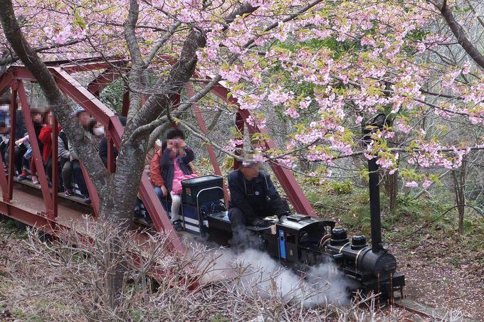 大人気のミニ鉄道は桜の下を走る本格派!