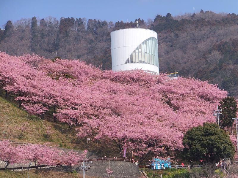 神奈川県松田町・河津桜でピンクに染まる山はミニ鉄道など楽しみが一杯!