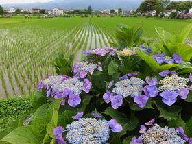 艶やかなあじさいと田園の競演!神奈川県開成町あじさいまつりとあじさいの里