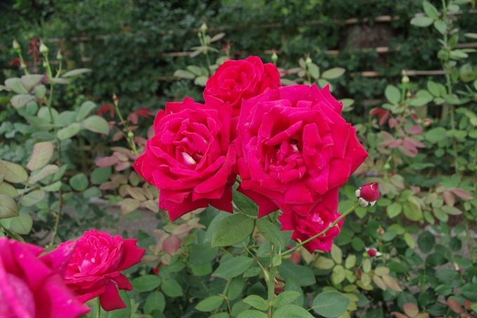 吉田茂の愛した日本庭園とバラ園
