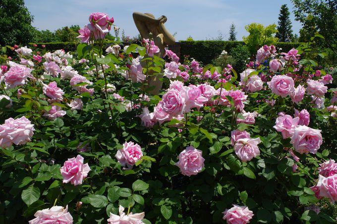 バラは気高く美しく咲く!