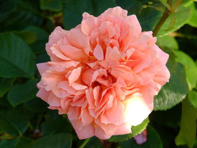 まだまだある薔薇の楽しみ方