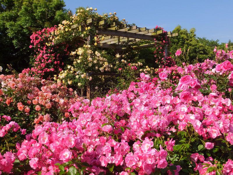 華麗なるバラの歴史をたどる花園 平塚市「花菜ガーデン・薔薇の轍」