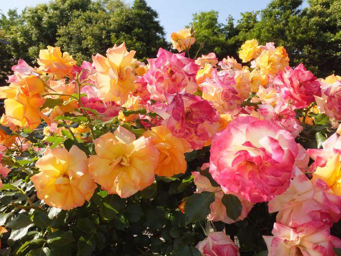 バラの歴史をたどる「薔薇の轍」