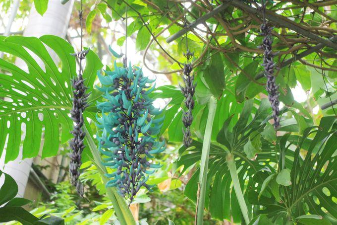 まるで翡翠のような色が美しいヒスイカズラ
