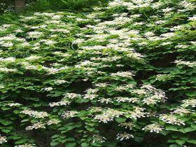 初夏の鎌倉・東慶寺で本堂の裏に咲く一面のイワガラミを特別公開!