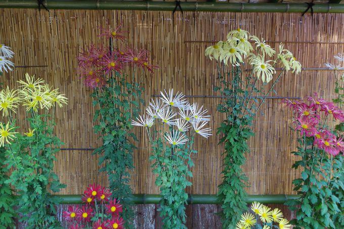 様々な美しさの菊花の競演