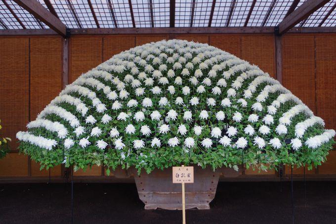 皇室ゆかりの伝統ある菊花壇を愛でる