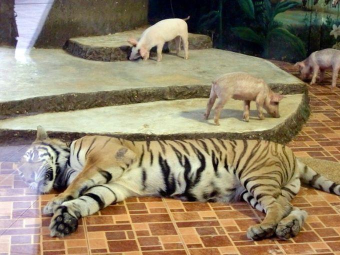 子豚を育てるメス虎!?