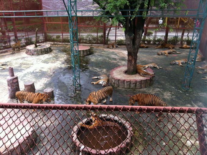 自由気ままな虎たちを眺めるのもよし、一緒に遊ぶのも良し!