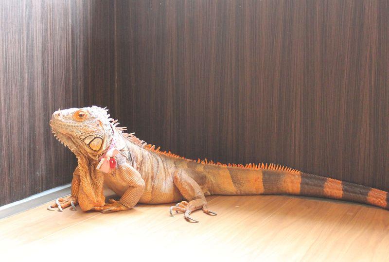 専任アテンドはトカゲちゃん?東京・爬虫類カフェ「爬虫類空間」