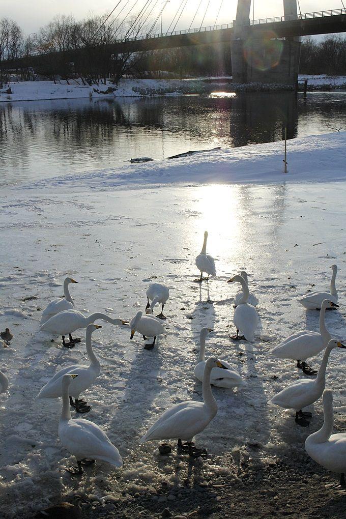 冬の使者、白鳥が飛来する「十勝川河畔」
