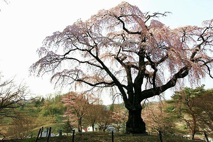 公園の風格ある桜。八十内(やそうち)かもん桜