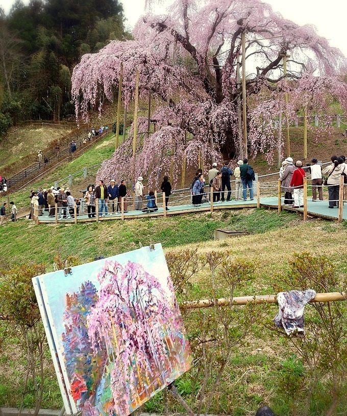 一度は見ておきたい、三春のシンボルツリー「滝桜」
