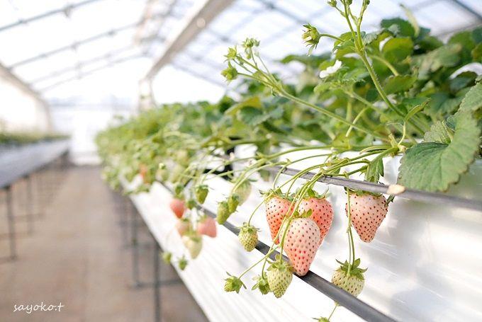 コスパ最高!時間無制限!の千葉県豊津「白久農園」のイチゴ狩り