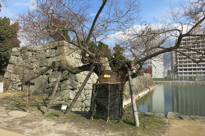立ち上がる広島のシンボル「被爆樹木」