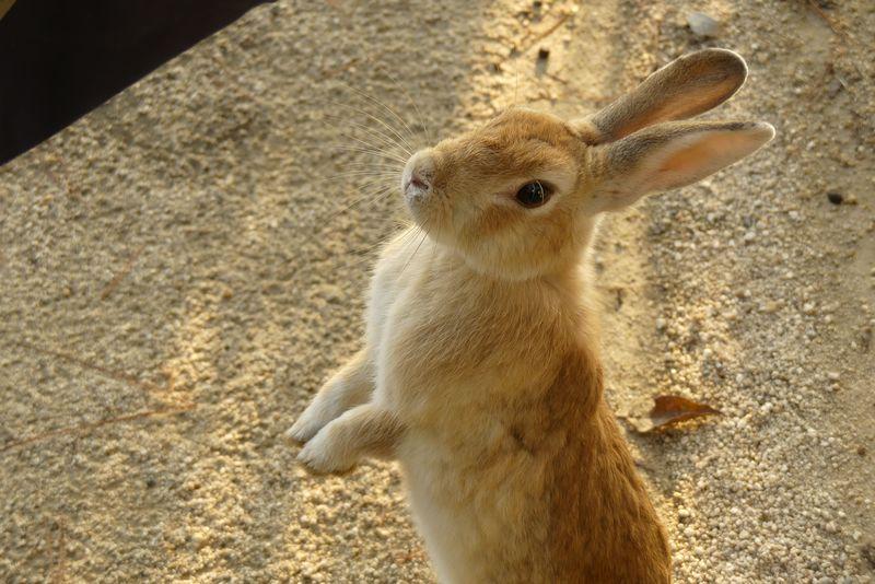 """広島の""""ウサギ島""""大久野島でウサギに愛されるための完全ガイド"""