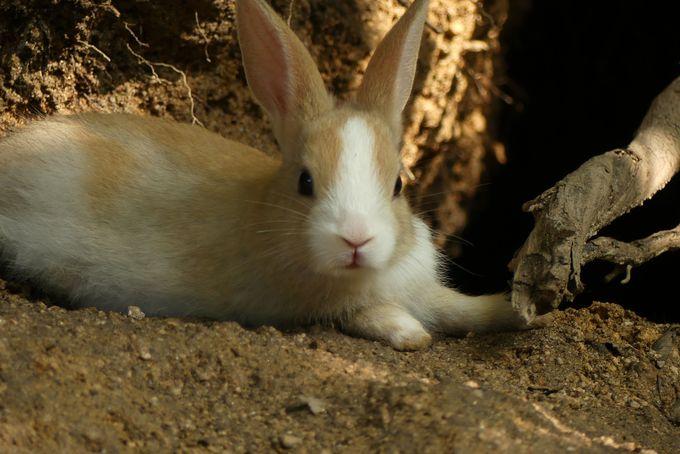 子ウサギを探すなら木陰や山側、DEBUウサギは桟橋付近に多し
